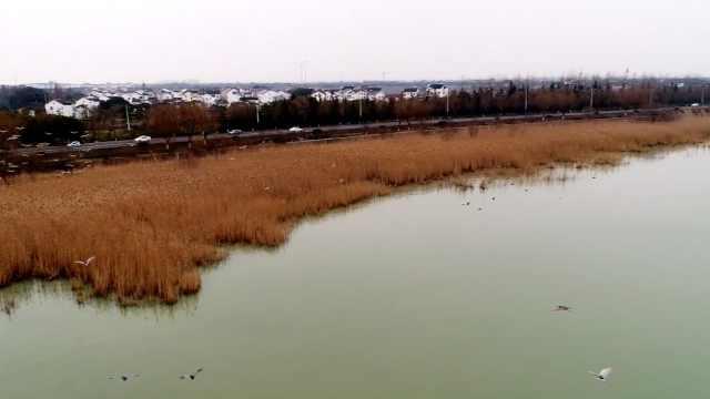 壮观:太湖东山湿地,万鸟齐飞