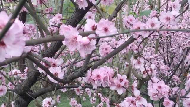 粉艳夺魂!重庆主城最早的桃花开了
