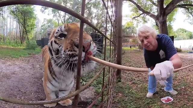 怎么喂老虎?拿根棍子戳点肉直接塞
