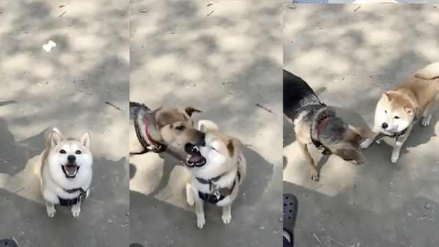 柴犬张嘴接零食,小伙伴空中拦截