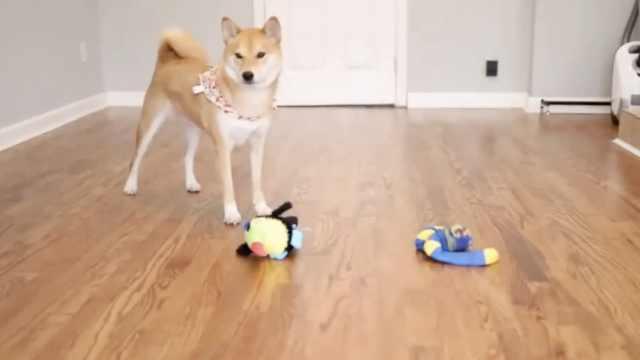 经过训练,狗狗会辨认人类语言吗