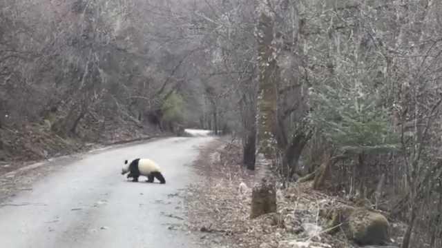 野生大熊猫过马路,撅屁股让人拍照