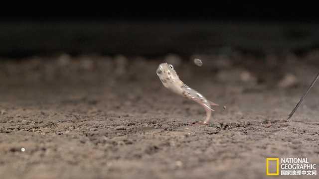 跳着走,在树上生活的鱼!