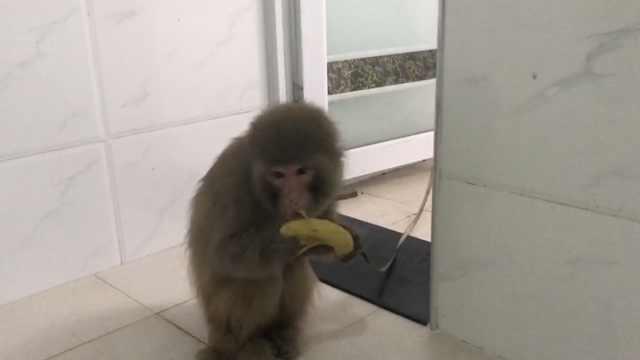 萌猴落单村民收留,不仅吃糖还吃肉