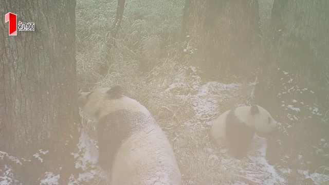 珍贵视频!首次拍到熊猫母子游玩