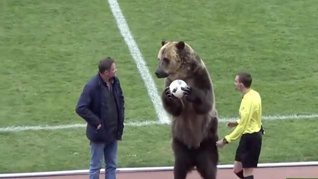 战斗民族日常!俄棕熊为足球赛开球