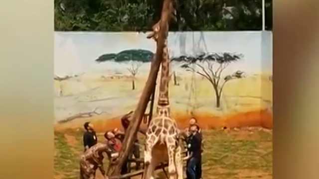 长颈鹿蹭痒,头卡枝杈死亡