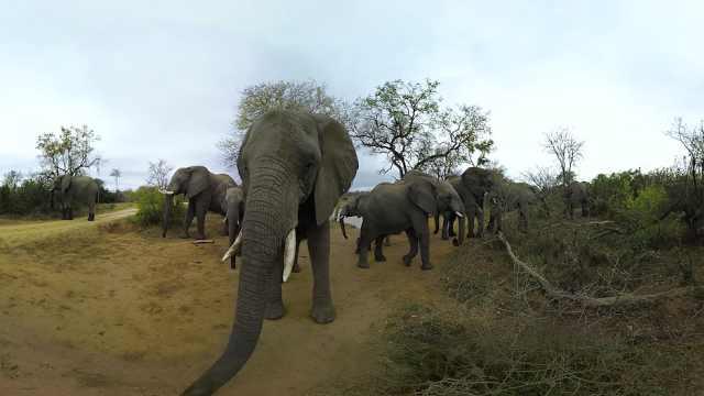 非洲大象告急!十年后或损失40万头