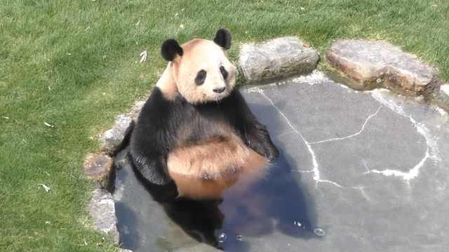 熊猫是怎么戏水的?只想捂脸说可爱