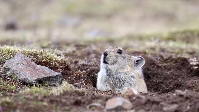 【秒拍大自然·22期】本鼠兔很忙