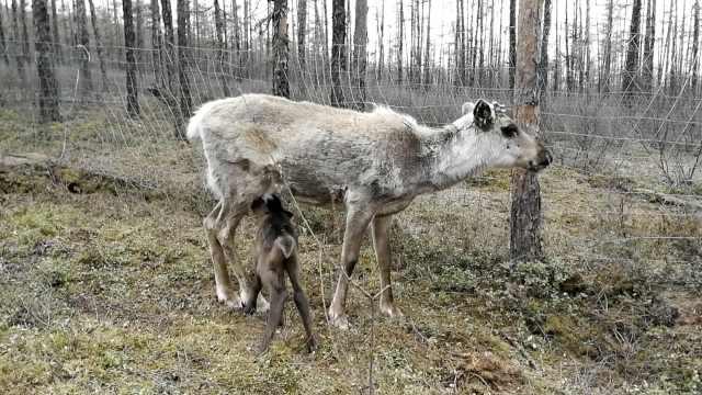 荷兰驯鹿远嫁内蒙古,首产混血宝宝