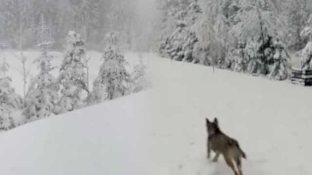 黑龙江5月大雪,狗子雪中撒欢狂奔