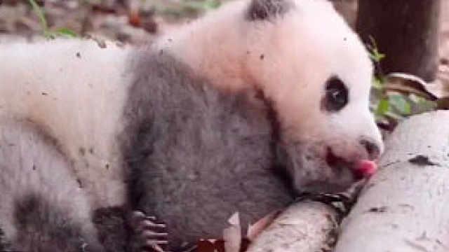进击的咪咕熊猫惊:天啊熊在吃什么