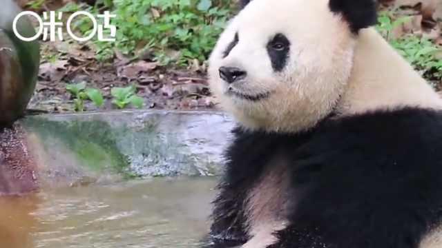 进击的咪咕熊猫惊:熊猫青春期游戏