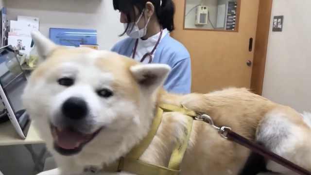 秋田犬喜欢女医生,赖在医院不想走