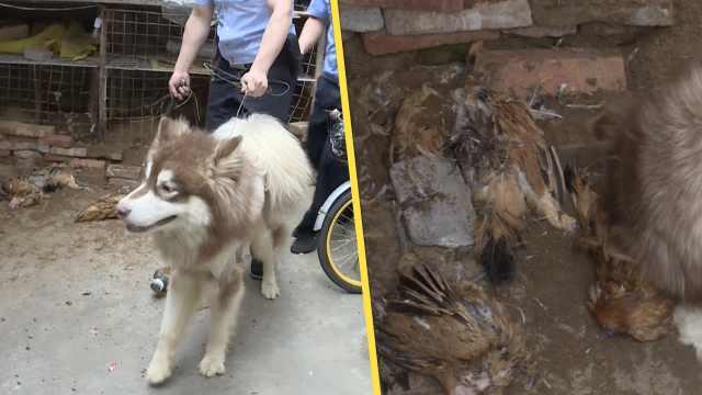肉瘾犯了?宠物狗出逃偷吃居民3只鸡