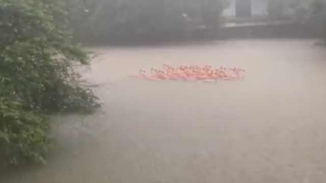 广州雨太大!动物园火烈鸟变