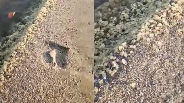 萌翻!巴厘岛海滩惊现无数螃蟹宝宝