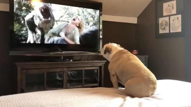 狗狗看动作电影,入戏太深不停叫