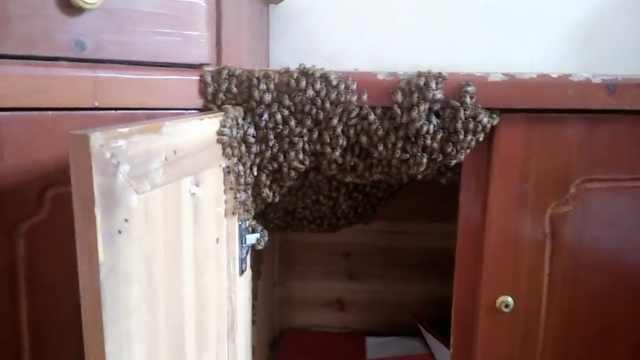 成群蜜蜂闯村民家筑巢,赖3个月不走