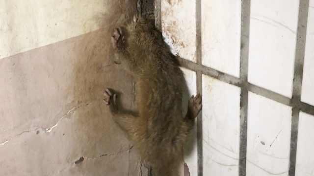 黄鼠狼追老鼠,一头扎进墙缝出不来