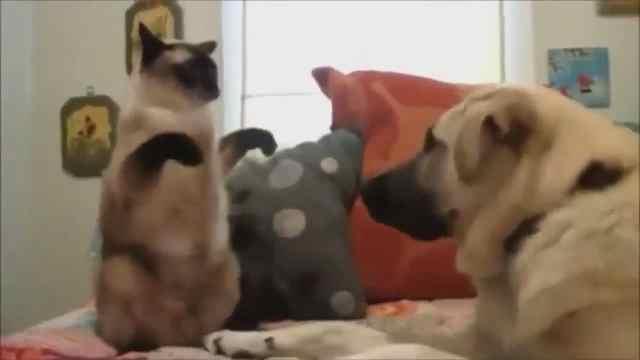 超凶!本喵不发威,你当我怕狗狗?