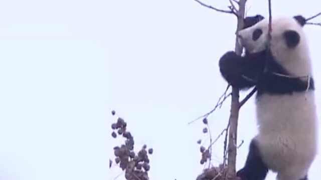 98k熊!大熊猫的搞笑合集!