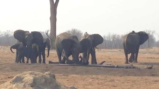 感动!大象家族不顾狮子威胁救小象