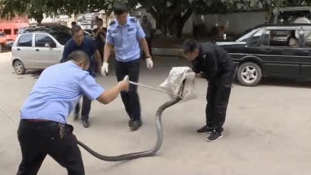 蛇出没!3米长眼镜王蛇闯进村民家