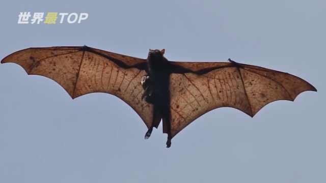 5种奇特蝙蝠,有的翼展2.45米长
