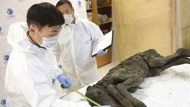 震惊!西伯利亚发现4万年前的马