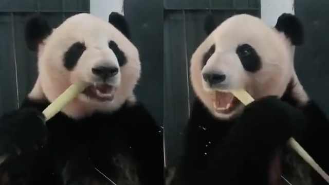 讲究!防脸型不对称,滚滚换边咬竹子