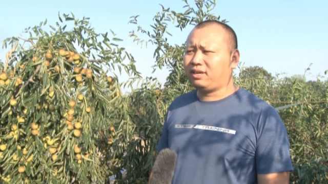 农民150亩枣园丰收,工人全用贫困户