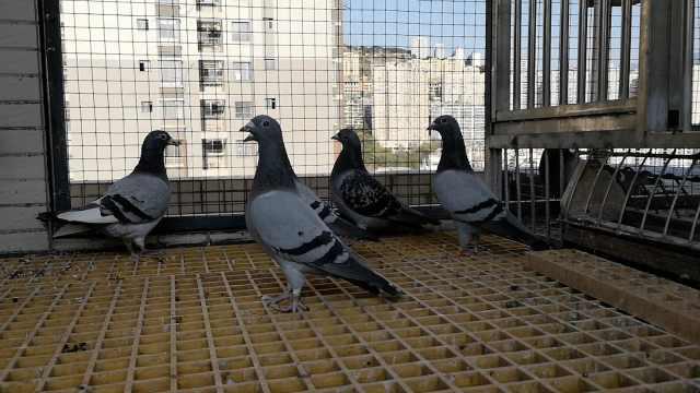 佛系养信鸽花数万元:飞不回就算了