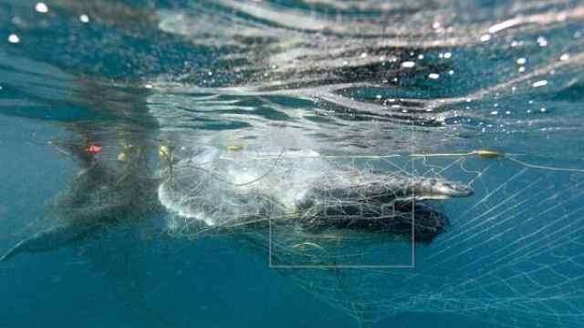 澳幼鲸误入防鲨网,被人类成功解救
