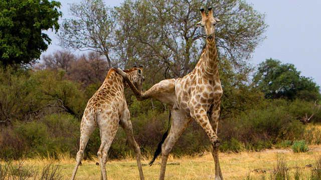 长颈鹿打起架来到底有多狠?