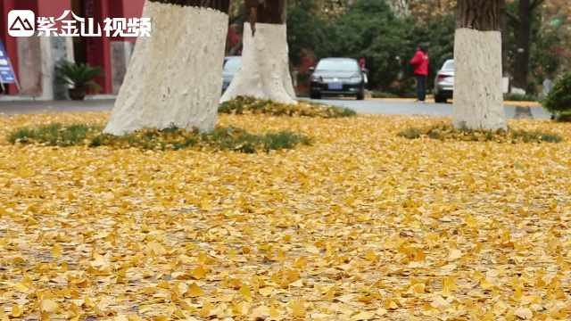 雨后的南京,满地金黄