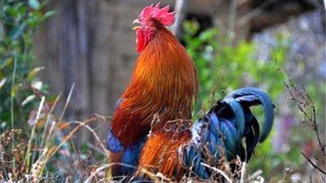 为什么公鸡会每天准时打鸣?