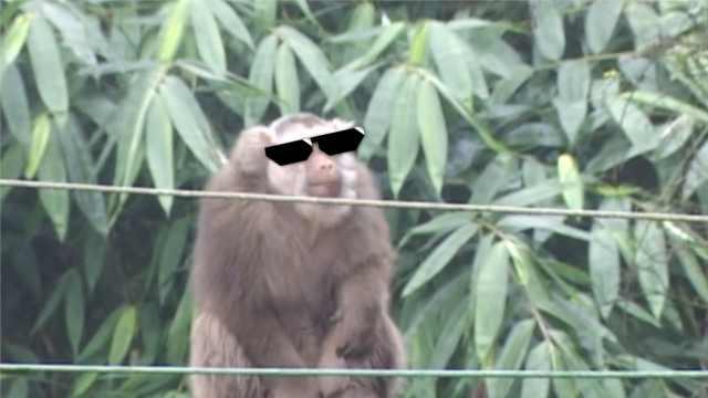 泼猴进村享vip待遇,村民苦不堪言