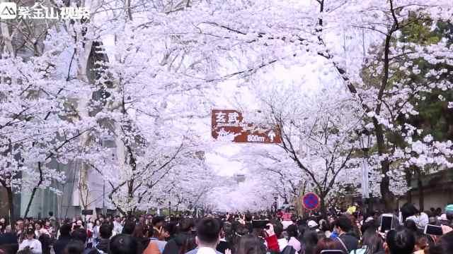 南京鸡鸣寺路樱花进入最佳观赏期