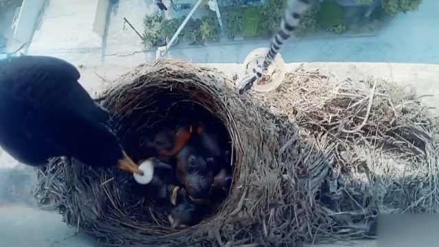 乌鸫阳台外筑巢,监控发现惊人现象