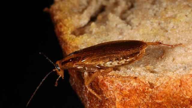 新研究:杀虫剂将杀不死蟑螂了