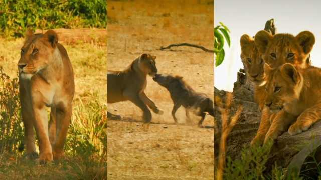 精彩现场:狮子猎食疣猪反被其追赶