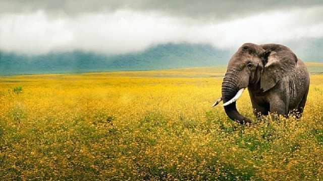 厉害了!能抗癌的大象
