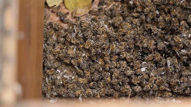 巴西3个月死亡5亿只蜜蜂