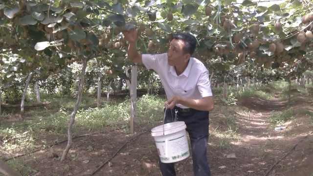 他带乡亲种猕猴桃,30万斤产量愁卖