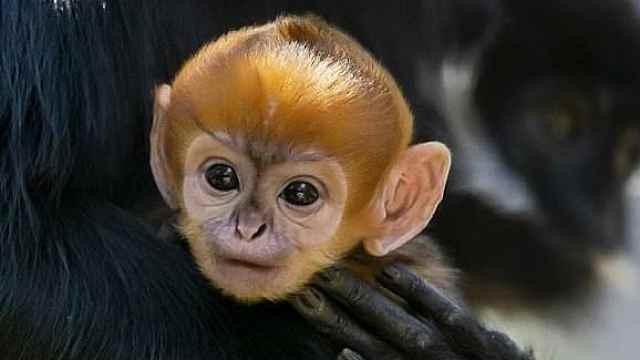 可爱!濒危黑叶猴降生,一头金发