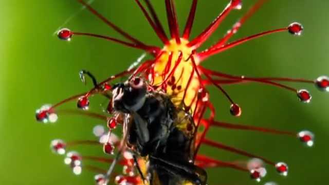 为什么这种植物能杀死动物?