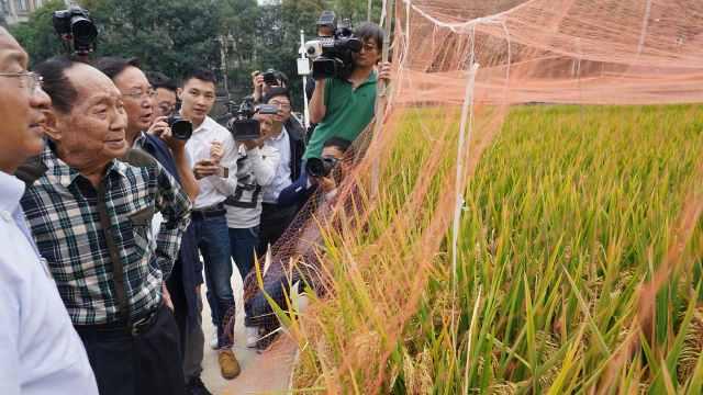 袁隆平超级稻最新亩产:1046.3公斤!