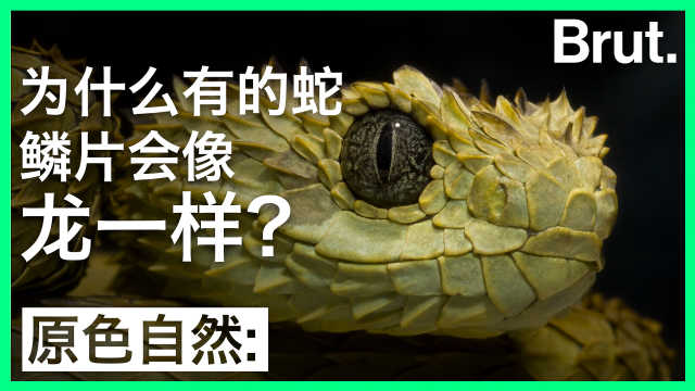 为什么有的蛇,鳞片会像龙一样?